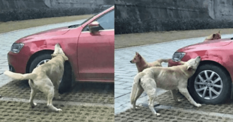 Stray Dog Who Got Kicked By A Cruel Driver Returns With His Friends To Vandalize His Car