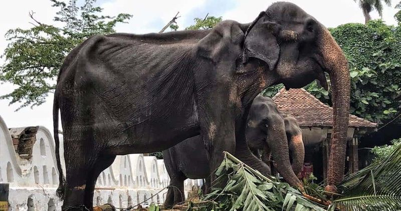 Ailing 70 Year Old Skeletal Elephant Forced To Walk During